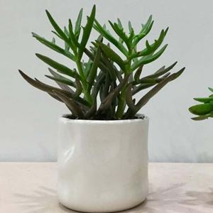 Picture of Succulent Small Size 001
