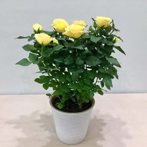 Picture of Yellow Roses Plant