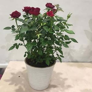 Picture of Red Roses Medium Size