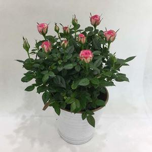 Εικόνα της Φυτό Τριανταφυλλιά Ροζ