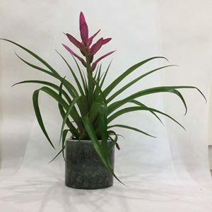 Picture of Bromelia