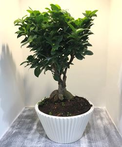 Picture of Bonsai