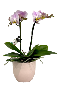 Picture of Pink Orchid