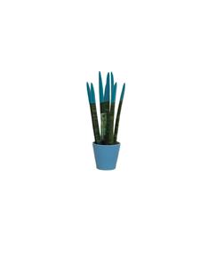Picture of Sansiveria Blue