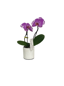 Picture of Giga Orchid
