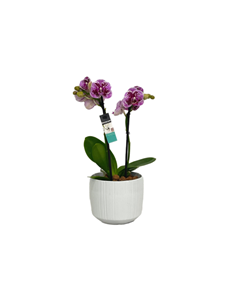 Picture of Orchid Phallaenopsis